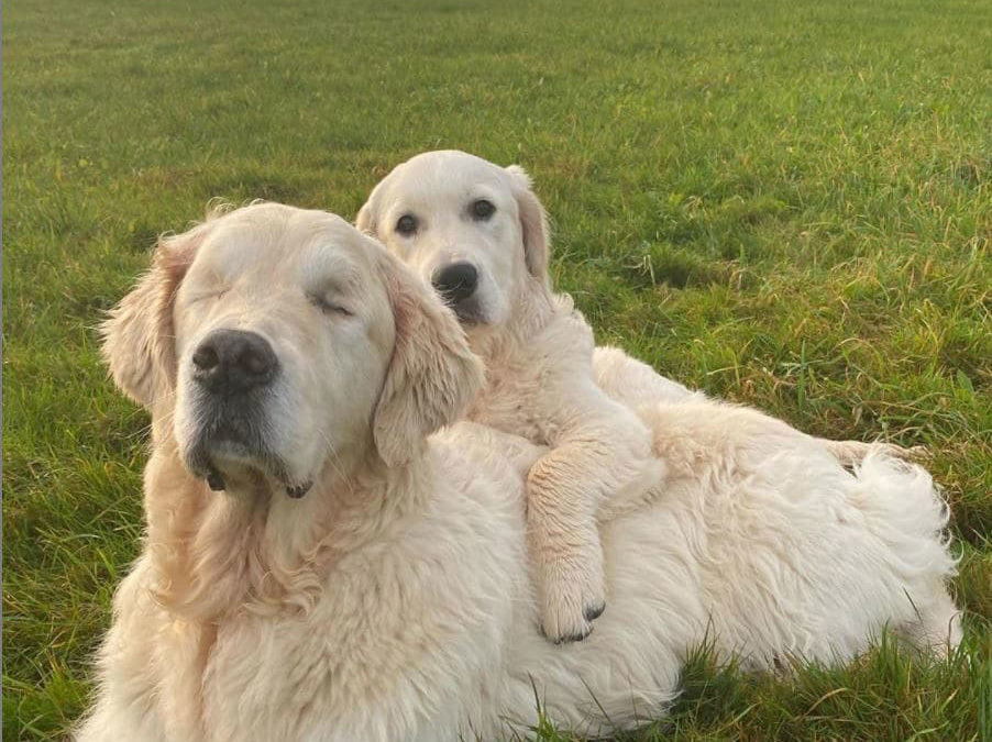 Blind Golden Retriever Gets His Own Guide Dog